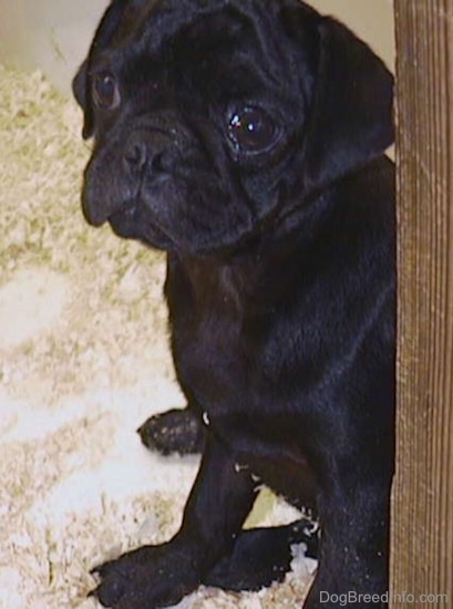 A black Pug puppy with wrinkles on its head sitting down on top of wood chips inside of a pen looking to the left. It has stuff coming out of its big round eye.