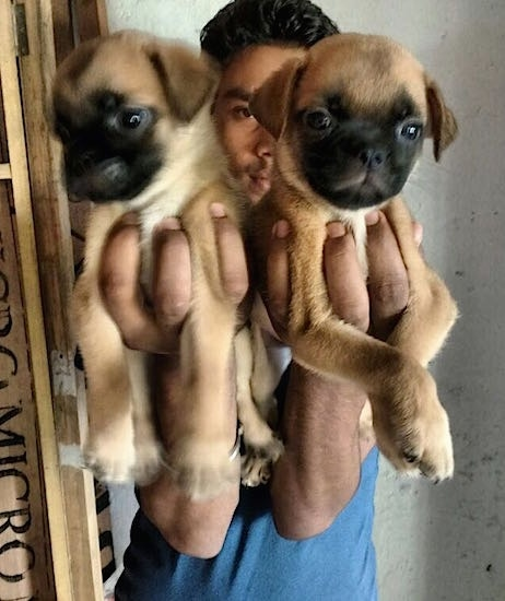Two tan with black Pug puppies are being held in each hand of a person.