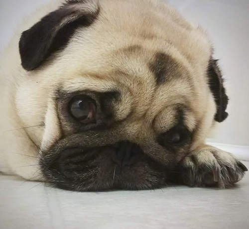 Close up head shot - A tan with black wrinkly faced Pug dog is laying down on a ground. It has big round eyes and small black ears and a black snout.