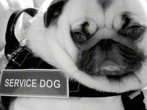 Close up head and upper body shot - A  black and white photo of a Pug that is wearing a vest with the words - Service Dog - on it. The dog has a lot of extra skin.