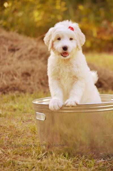 Front view - A happy-looking, little white Pyredoodle puppy inside of a medal bucket which is outside in the grass. She has a red bow on her head and her front paws are up on the edge of the bucket.