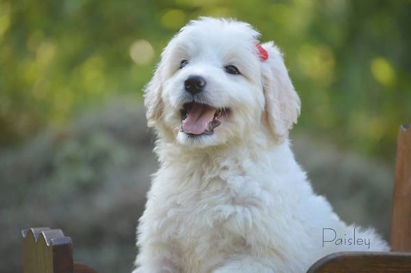 A little, wavy-coated, white Pyredoodle puppy outside on a wooden chair turned to the left with a red bow on her head looking happy with her tongue sticking out.