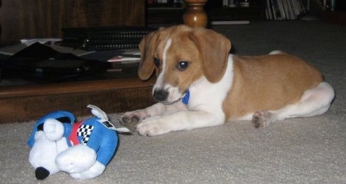 The left side of a tan and white Raggle puppy that is laying on a carpet. There is a blue and white plush Snoopy toy in front of it.