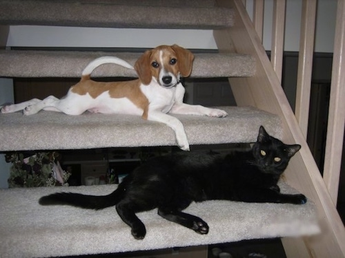 A white and tan Raggle puppy is laying across a carpeted step and under it on the next step down is a black cat.