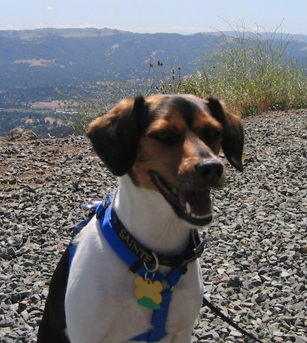 A black, tan and white Raggle dog is sitting on a rocky hilltop with a scenic mountain view behind it. The dog is looking to the right and its mouth is open and it looks like it is smiling.