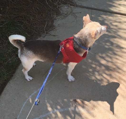 The back right side of a black, tan and white Rat-Cha that is standing on a sidewalk and it is looking to the right. It is wearing a red harness and its tail is up and curled over its back.