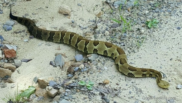 A very large thick tan with brown spotted snake on a sandy rocky ground.
