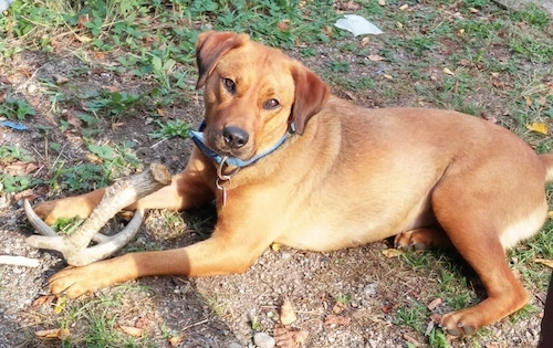 The left side of a red Rhodesian Labrador dog that is laying across patchy grass and there is a deer antler in its front paws. It is looking forward and its head is tilted to the right.