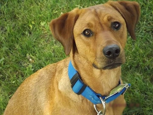 Close up head and upper body shot - A red Rhodesian Labrador dog is wearing a blue collar sitting in grass looking up. Its head is slightly tilted to the left.