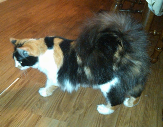 Patches the calico Ringtail cat is standing on a hardwood floor with a chair behind it