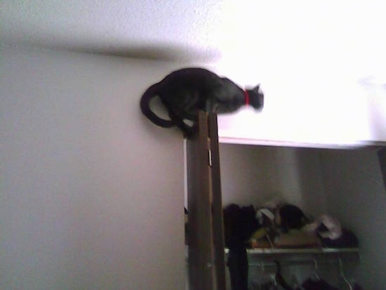 Side-View of Shadow the Russian Blue Cat standing on top of a closet door