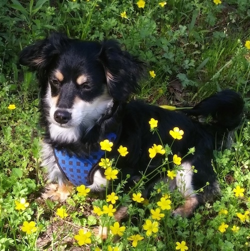 Front side view - A short-legged black with tan and white Schweenie dog is sitting in the middle of yellow butter cup flowers looking to the left. The dog is wearing a blue harness.