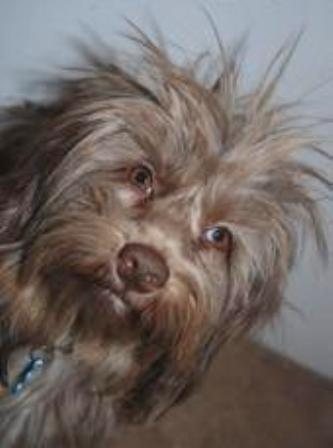 Close up head shot - A longhaired scruffy looking tan Schweenie with the hair on his head sticking up in the air. Its round eyes are golden brown and its nose is brown.