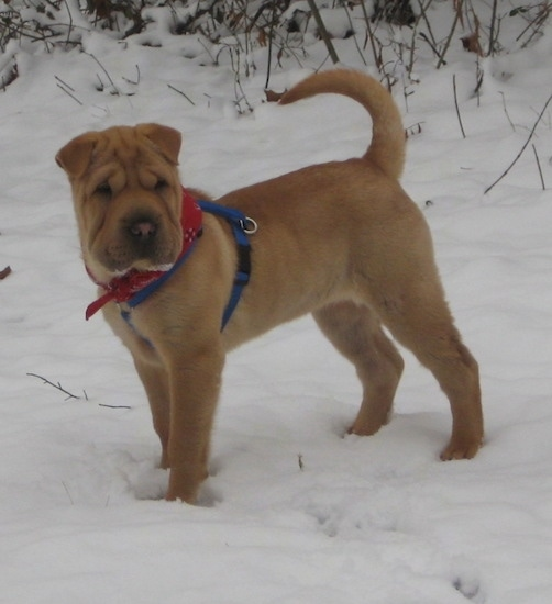 A wrinkly tan Chinese Shar-Pei with short fold over ears wearing a blue harness and red bandanna standing in snow with her tail up. The dog has a large square head and a big nose.