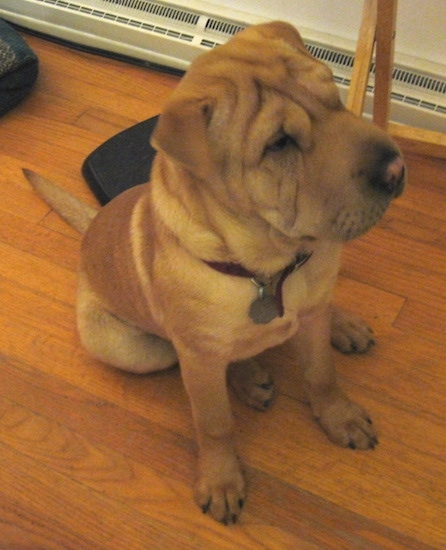 A wrinkly tan Chinese Shar-Pei sitting inside a house on a hardwood floor. The dog has a big head.