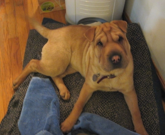 A wrinkly tan Chinese Shar-Pei dog laying on a brown dog bed with a blue towel in front of it on top of a hardwood floor inside of a home. The dog has a lot of extra skin around its eyes.