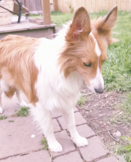 A red and white Sheltland Sheepdog standing outside on a brick walkway looing down. It has large perk ears and a black nose. There is a wooden deck behind him