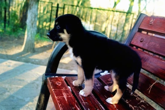 A small, black, tan and white Shepweiler puppy standing up on a red park bench looking into the distance
