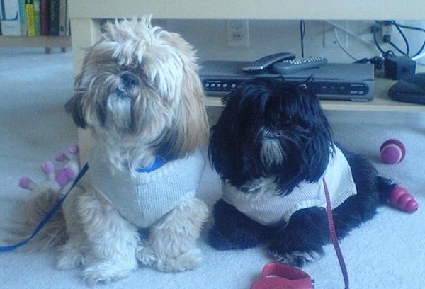 Two thick coated, Shih Tzus are wearing sweaters. The left most dog is tan and is sitting on a carpet and right Shih Tzu is black and is laying on a carpet. There is an entertainment system behind them.