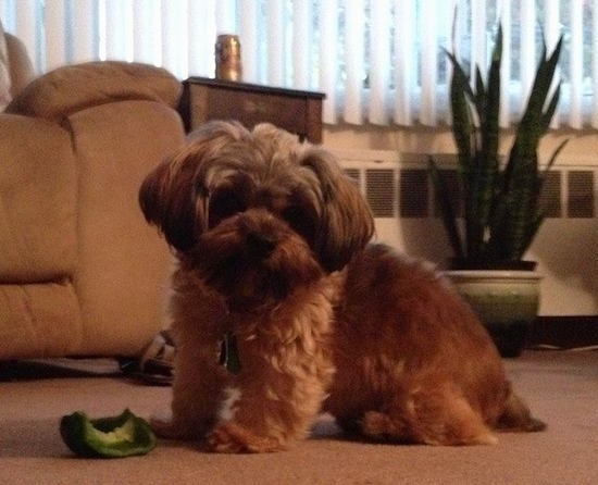Side view - A fluffy, wavy, thick coated, brown with white Shorkie Tzu is standing in the living room with a half eaten green bell pepper on the floor next to her.