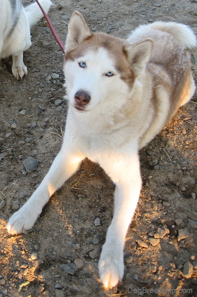 Siberian Husky Dog Breed Information And Pictures