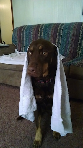 Front view - A brown with tan Siberian Retriever dog with golden brown eyes sitting on a carpet, it has a white towel over its head and there is a couch behind it.
