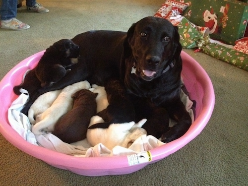 A black purebred Labrador Retriever dog is laying in a pink plastic kiddy pool looking forward and it looks like it is smiling. She is nursing her large litter of puppies.