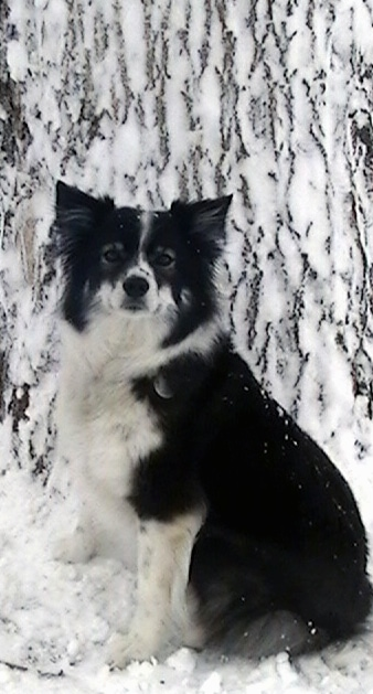 The left side of a black with white Ski-Border dog sitting in snow in front of a large tree with snow on it looking forward. The dog has fringe hair on its pointy ears.