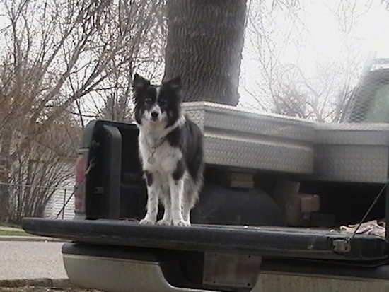 A medium haired black with white Ski-Border dog standing on the back of a pick-up truck bed looking out over the edge. It has pointy perk ears.