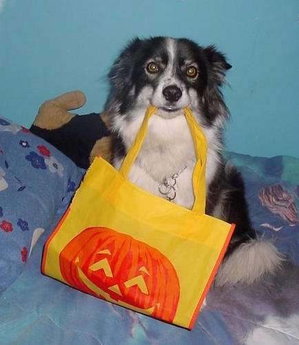 A black with white Ski-Border dog is sitting on a bed with a yellow bag that has an orange jack o'lantern on it. The handle of the bag is in the dog's mouth and it is looking forward. The dog's ears are pinned back.