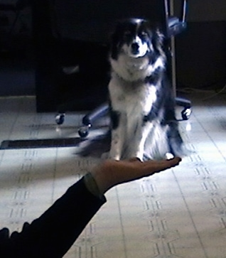 A person has there hand under a paused video of a black with white Ski-Border that is sitting on a tiled floor. The perspective of the image makes it look like the person has a smaller version of the dog in its hand.