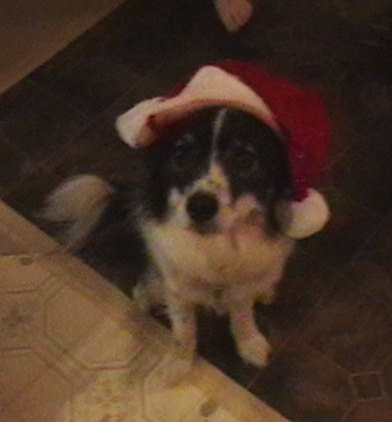 Top down view of a black with white Ski-Border dog that is wearing a red and white Santa hat sitting on a tan and white tiled floor looking up.