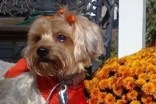 A tan Snorkie dog is wearing an orange ribbon in its top knot and also a red bandana. There are orange flowers next to it
