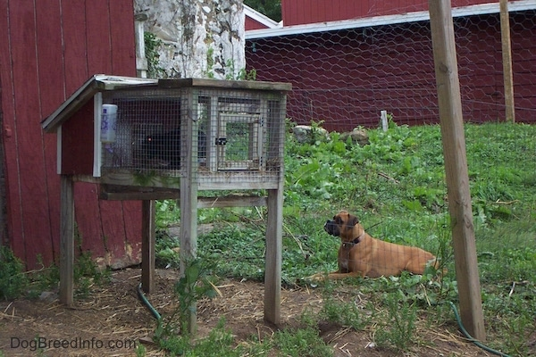 A fawn Boxer dog laying down in grass between two red barns intensely staring at a rabbit that is in a rabbit hutch.