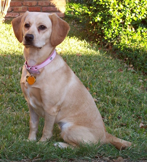 A tan Cocker Spaniel/Labrador Retriever mix breed dog sitting in the grass with a brick house behind her. The dog has soft wide ears that hang down to the sides, dark almond shaped eyes and a black nose.