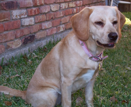A shorthaired tan Spanador is wearing a pink collar sitting in the grass with a brick house behind her, with her eyes slightly squinted. She has a black nose and long soft drop ears.