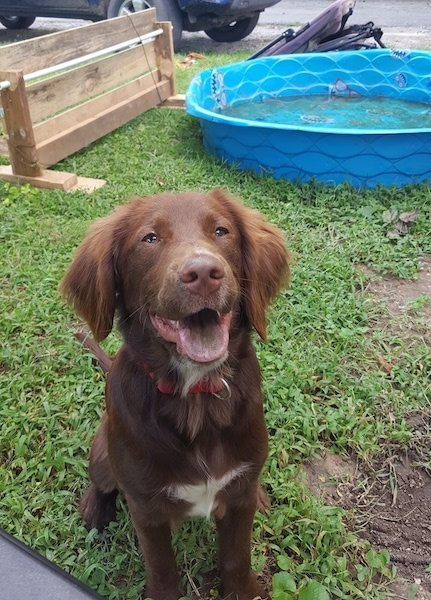 A brown with white Spangold Retriever is sitting on grass and it is looking up. Its mouth is open and it looks like it is smiling. There is a kiddie pool of water and an agility jumping wall in the background.