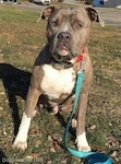 Front view - A blue-nose brindle Pit Bull Terrier is sitting in grass witht a teal-blue leash hanging down in front of him.