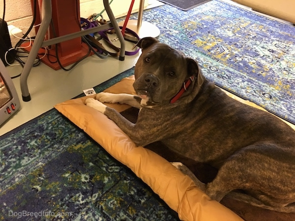 A large breed, gray brindle dog laying on a brown dog bed in front of a small space heater under a table.