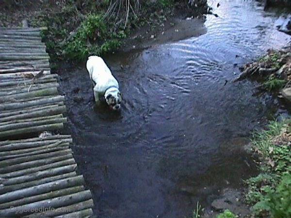 Top down view of Spike the Bulldog who is standing in a stream and drinking the water. To the left of him is a bridge made of logs.