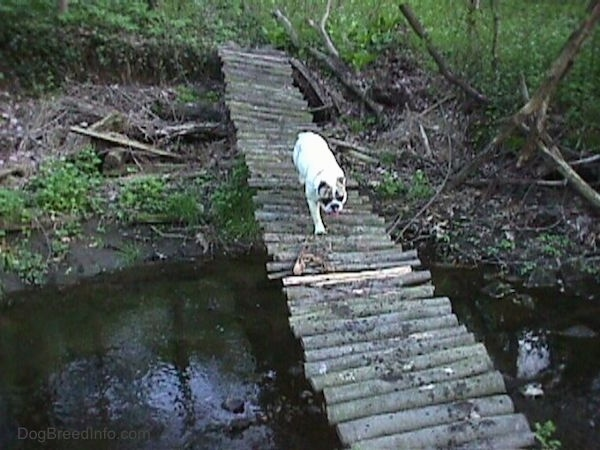 Spike the Bulldog is walking across a bridge made of logs that is overtop of a stream.
