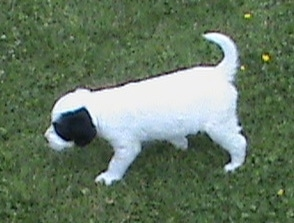 The left side of a white with black Sprollie puppy that is walking across a grass surface. It has a white body with black patches around each eye. Its tail is up.