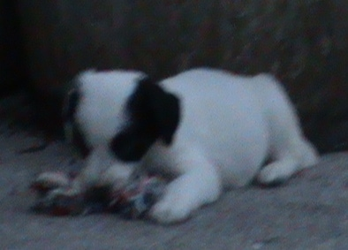 Front view - A white with black Sprollie puppy is laying on a carpet and chewing a rope toy in front of it.