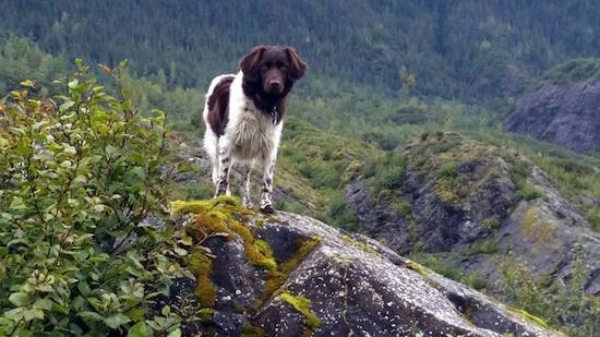 A brown and white Stabyhoun is standing on a rock, at the base of a grassy terrain and it is looking forward.