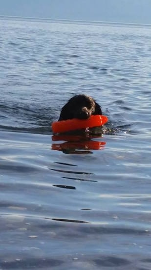 A brown and white Stabyhoun dog is swimming across a body of water and it has a red item in its mouth.