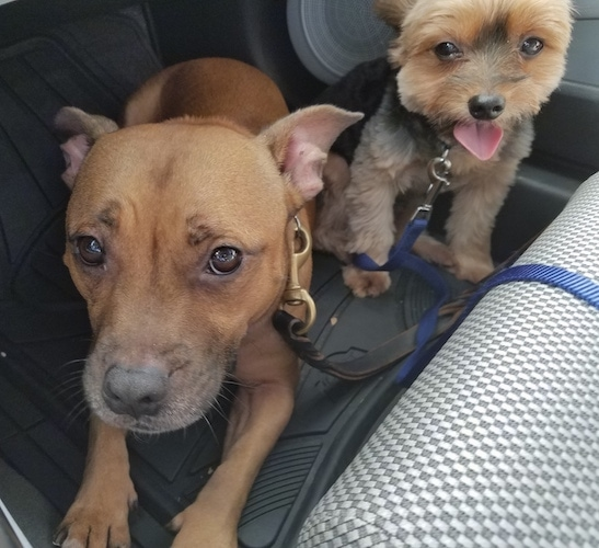 Two dogs in a car - A Medium sized Staffy Bull Terrier dog connected to a black leash laying down next to a sitting toy-sized tan and black dog sitting on the floor of a car with a blue leash connected to its collar.