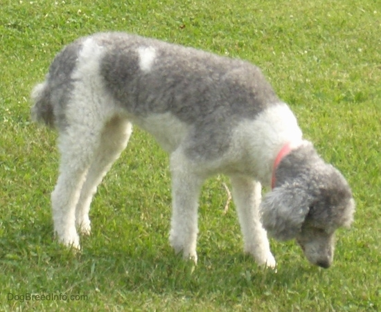 A curly coated gray and white tall dog wearing a red collar standing in grass smellig the ground