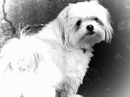 A black and white image of a toy dog with straight hair looking back at the camera holder. The dog has a black nose.