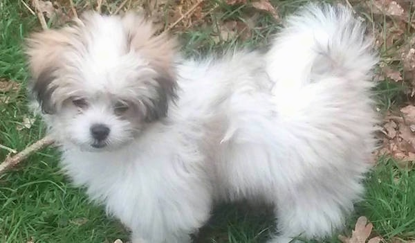 A fluffy white and tan with black puppy standing outside in grass next to a stick. The dogs fuzzy tail is curled up over its back.