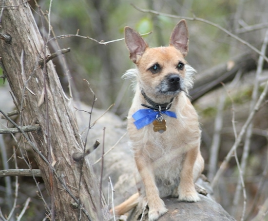 cairn chihuahua toxirn dog breed information and pictures 8036
